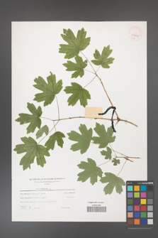 Acer campestre [KOR 39699]
