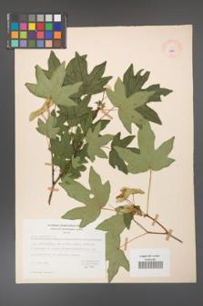 Acer campestre [KOR 8964]