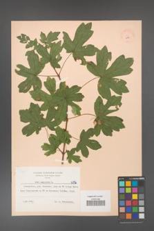 Acer campestre [KOR 6156]