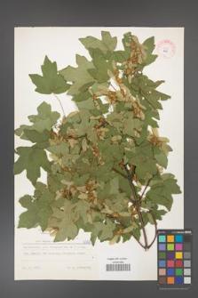 Acer campestre [KOR 6090]
