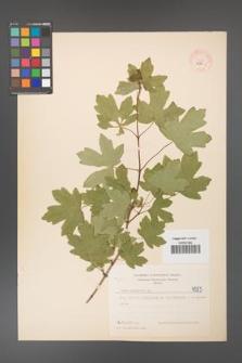 Acer campestre [KOR 4585]