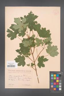 Acer campestre [KOR 2435]