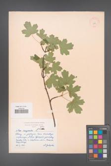 Acer campestre [KOR 2993]