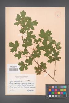 Acer campestre [KOR 2990]