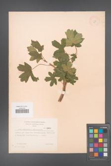 Acer campestre [KOR 2998]