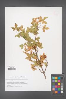 Acer campestre [KOR 51575]