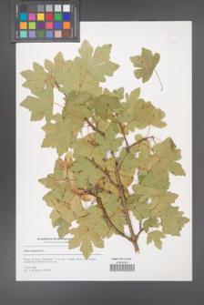 Acer campestre [KOR 53125]