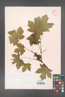 Acer heldreichii [KOR 11530]