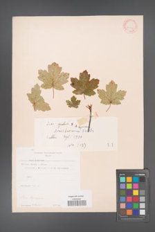 Acer hyrcanum [KOR 11390]