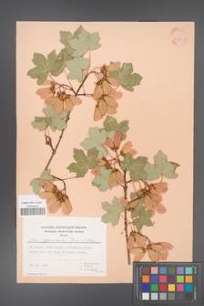 Acer hyrcanum [KOR 30079]