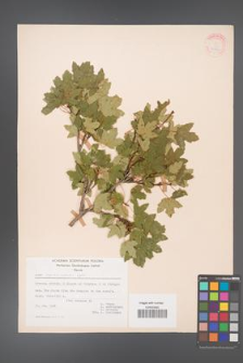 Acer reginae-amaliae [KOR 20876]