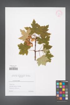 Acer stevenii [KOR 44157]