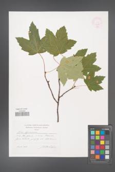 Acer hyrcanum [KOR 44838]