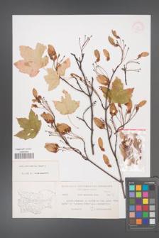Acer hyrcanum [KOR 11398]