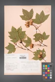 Acer hyrcanum [KOR 11396]