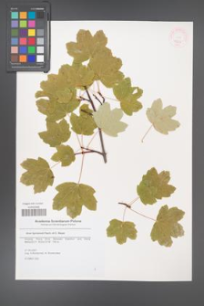 Acer hyrcanum [KOR 46266]