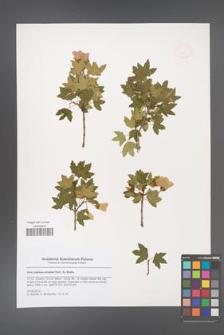 Acer reginae-amaliae [KOR 47906]