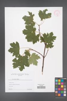Acer stevenii [KOR 44153]
