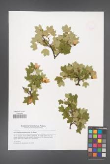 Acer reginae-amaliae [KOR 47910a]