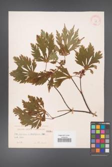 Acer japonicum [KOR 88]