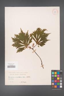 Acer japonicum [KOR 89]