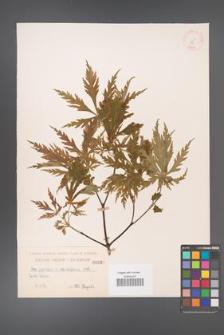 Acer japonicum [KOR 87]