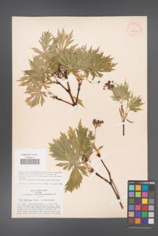 Acer japonicum [KOR 33417]
