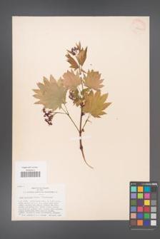 Acer japonicum [KOR 33420]