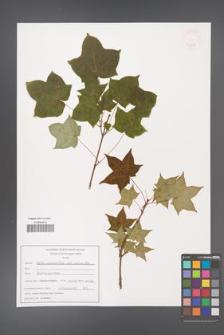 Acer longipes [KOR 47587]