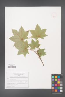 Acer longipes [KOR 47549]