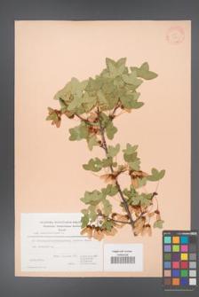 Acer monspessulanum [KOR 20869]