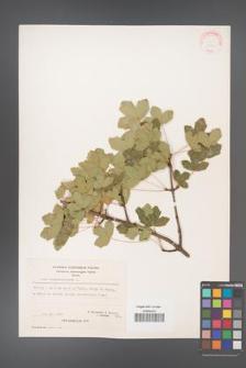 Acer monspessulanum [KOR 20861]