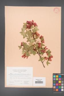Acer monspessulanum [KOR 22619]