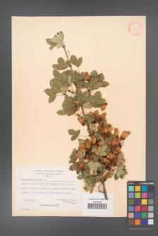 Acer monspessulanum [KOR 20855]