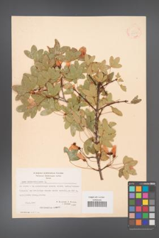 Acer monspessulanum [KOR 20856]