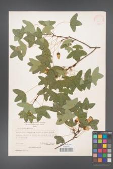 Acer monspessulanum [KOR 20857]