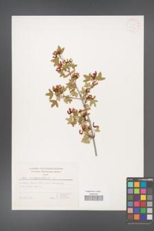 Acer monspessulanum [KOR 25004]