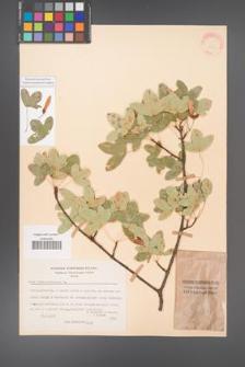Acer monspessulanum [KOR 20851]