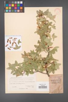 Acer monspessulanum [KOR 20847]