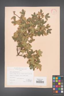 Acer monspessulanum [KOR 20841]