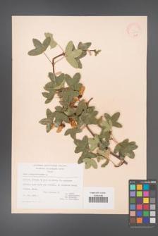 Acer monspessulanum [KOR 20839]