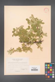 Acer monspessulanum [KOR 20846]