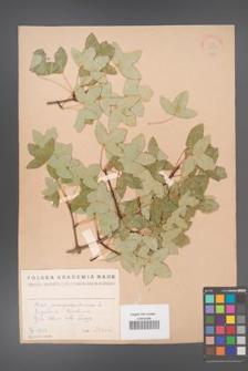 Acer monspessulanum [KOR 11340a]