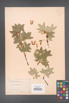 Acer monspessulanum [KOR 11395a]