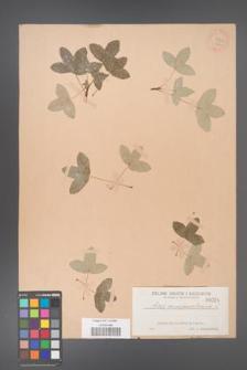 Acer monspessulanum [KOR 26a]