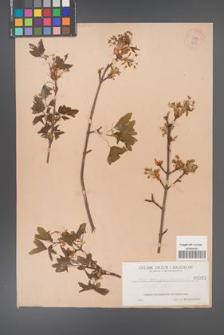 Acer monspessulanum [KOR 25a]