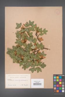 Acer monspessulanum [KOR 24a]