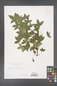 Acer monspessulanum [KOR 47404]