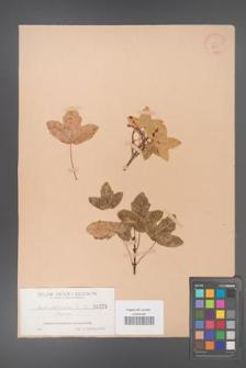 Aceribericum ibericum [KOR 181]