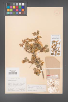 Acer monspessulanum [KOR 11439]